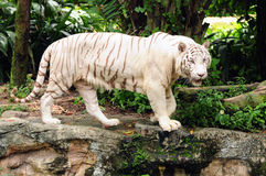 λευκό τιγρών Στοκ Φωτογραφία
