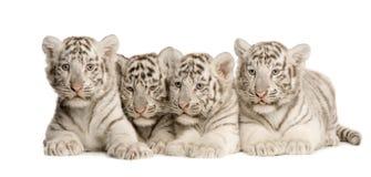 λευκό τιγρών 2 cub μηνών Στοκ Φωτογραφίες