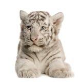 λευκό τιγρών 2 cub μηνών Στοκ εικόνα με δικαίωμα ελεύθερης χρήσης