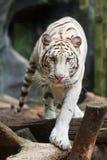 λευκό τιγρών Στοκ φωτογραφία με δικαίωμα ελεύθερης χρήσης