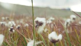 Λευκό τομέων βαμβακιού με το ώριμο βαμβάκι έτοιμο για τη συγκομιδή Ανάπτυξη βαμβακιού στον τομέα φιλμ μικρού μήκους