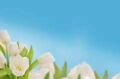 λευκό τουλιπών Στοκ εικόνες με δικαίωμα ελεύθερης χρήσης