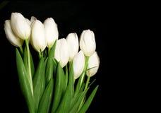 λευκό τουλιπών Στοκ εικόνα με δικαίωμα ελεύθερης χρήσης