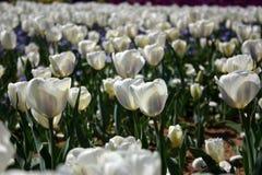 λευκό τουλιπών Στοκ φωτογραφία με δικαίωμα ελεύθερης χρήσης