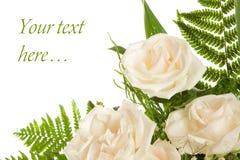λευκό τριαντάφυλλων ανα&s Στοκ φωτογραφία με δικαίωμα ελεύθερης χρήσης