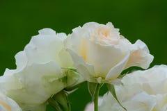 λευκό τριαντάφυλλων ανθοδεσμών Στοκ εικόνα με δικαίωμα ελεύθερης χρήσης