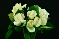 λευκό τριαντάφυλλων ανθ&o στοκ φωτογραφίες