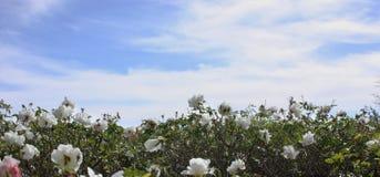 λευκό τριανταφυλλιών Στοκ φωτογραφία με δικαίωμα ελεύθερης χρήσης