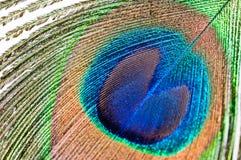 λευκό φτερών peacock Στοκ εικόνες με δικαίωμα ελεύθερης χρήσης
