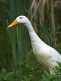 λευκό χήνων Στοκ Εικόνα