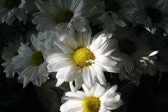 λευκό χρυσάνθεμων Στοκ φωτογραφία με δικαίωμα ελεύθερης χρήσης