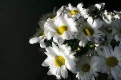λευκό χρυσάνθεμων Στοκ φωτογραφίες με δικαίωμα ελεύθερης χρήσης