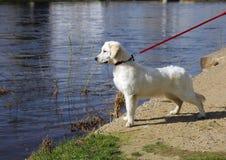 Λευκό χρυσό retriever σκυλιών με τη μαύρη μύτη σε ένα λουρί κοιτάζει επίμονα Στοκ εικόνα με δικαίωμα ελεύθερης χρήσης