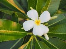 Λευκό χρώματος λουλουδιών Plumeria Στοκ φωτογραφίες με δικαίωμα ελεύθερης χρήσης