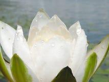 λευκό ύδατος κρίνων Στοκ Εικόνες