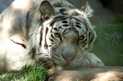 λευκό 6 τιγρών στοκ φωτογραφία με δικαίωμα ελεύθερης χρήσης