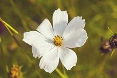 Λευκό Anemone στον ήλιο Στοκ Εικόνες