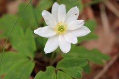 Λευκό Anemone Στοκ Φωτογραφίες