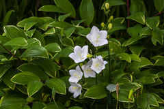 Λευκό Carpatica Alba Campanulas, ως υπόβαθρο Στοκ φωτογραφία με δικαίωμα ελεύθερης χρήσης