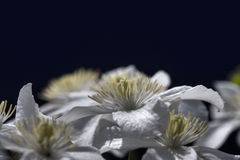 λευκό clematis Στοκ εικόνες με δικαίωμα ελεύθερης χρήσης