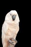 λευκό cockatoo Στοκ Φωτογραφίες