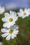 Λευκό Cosme Στοκ Εικόνες