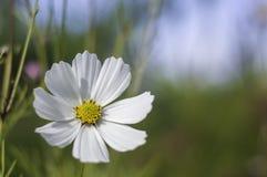 Λευκό Cosme Στοκ φωτογραφία με δικαίωμα ελεύθερης χρήσης
