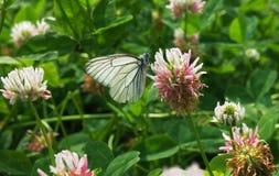 Λευκό crataegi aporia πεταλούδων στο λουλούδι Στοκ φωτογραφία με δικαίωμα ελεύθερης χρήσης