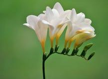 λευκό freesia στοκ εικόνες