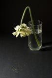 λευκό gerbera θανάτου Στοκ Εικόνες