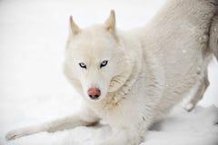 λευκό huskey Στοκ φωτογραφία με δικαίωμα ελεύθερης χρήσης