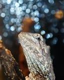 λευκό iguana Στοκ Εικόνες