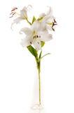 λευκό madonna κρίνων γυαλιού Στοκ Εικόνες