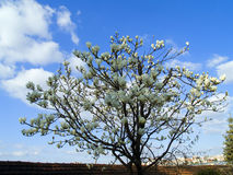 λευκό magnolia στοκ φωτογραφία με δικαίωμα ελεύθερης χρήσης
