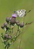 λευκό melanargia πεταλούδων galathea Στοκ Φωτογραφία
