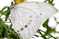 λευκό morpho πεταλούδων Στοκ Εικόνες
