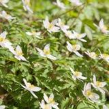 λευκό nemorosa anemone Στοκ εικόνες με δικαίωμα ελεύθερης χρήσης