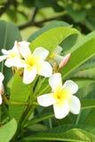 Λευκό Plumeria - άσπρα λουλούδια. Στοκ φωτογραφία με δικαίωμα ελεύθερης χρήσης