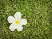 λευκό plumeria λουλουδιών Στοκ φωτογραφία με δικαίωμα ελεύθερης χρήσης
