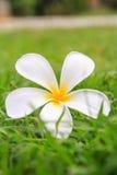 Λευκό Plumeria Στοκ φωτογραφία με δικαίωμα ελεύθερης χρήσης