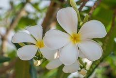 Λευκό Plumeria Στοκ Εικόνες