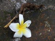 Λευκό Plumeria Στοκ φωτογραφίες με δικαίωμα ελεύθερης χρήσης