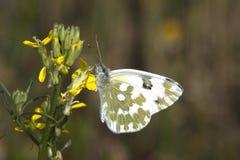 λευκό pontia daplidice λουτρών Στοκ Εικόνα