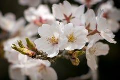 λευκό sakura Στοκ φωτογραφία με δικαίωμα ελεύθερης χρήσης