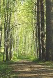 Λεωφόρος αμμοχάλικου και δέντρων  Δασική διάβαση πεζών Στοκ Φωτογραφίες
