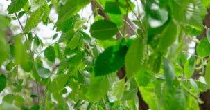 Λεύκα με τα φρέσκα πράσινα φύλλα στους κλαδίσκους που κυματίζουν στον αέρα απόθεμα βίντεο