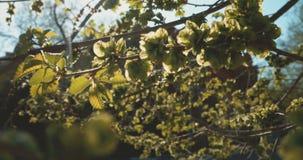 Λεύκα στην ηλιόλουστη ημέρα της άνοιξη Το φυσικό υπόβαθρο με τη λεύκα διακλαδίζεται και νέα φωτεινά φύλλα μπροστά από τον ήλιο ημ απόθεμα βίντεο