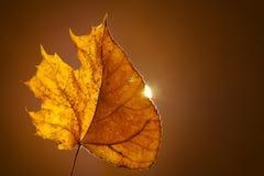 Λεύκα τουλιπών φθινοπώρου που αναμιγνύεται με το φύλλο σφενδάμου στις σταθερές βάσεις Με το πίσω φως του ήλιου Στοκ Φωτογραφία