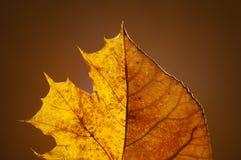 Λεύκα τουλιπών φθινοπώρου που αναμιγνύεται με το φύλλο σφενδάμου στις σταθερές βάσεις Με το πίσω φως του ήλιου Στοκ εικόνα με δικαίωμα ελεύθερης χρήσης
