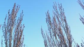 Λεύκα χωρίς φύλλα ενάντια στο μπλε ουρανό φιλμ μικρού μήκους